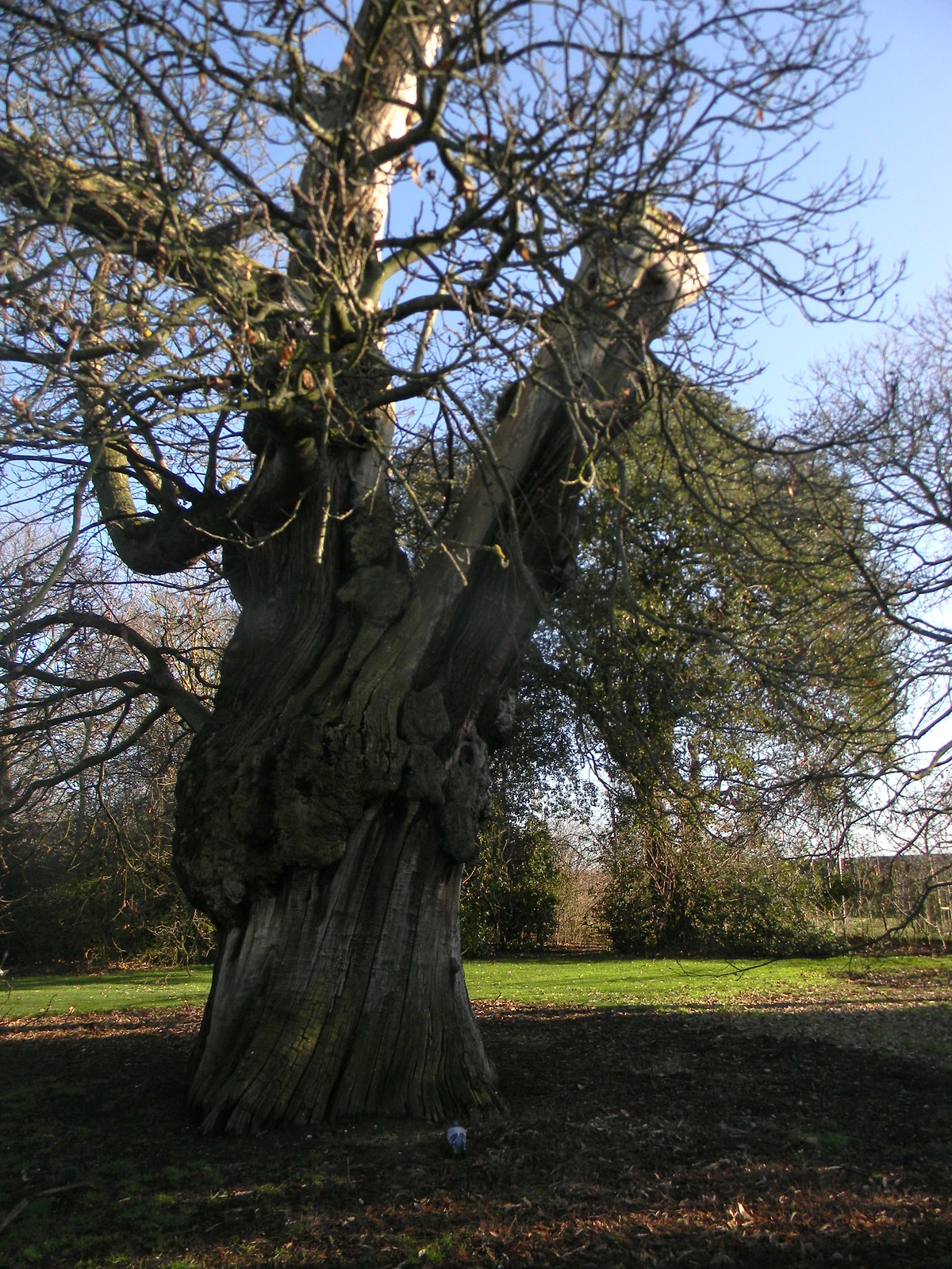 Big old tree Blackheath to Canary Wharf