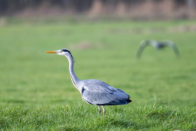 Blauwe reiger-Grey Heron (Ardea cinerea)