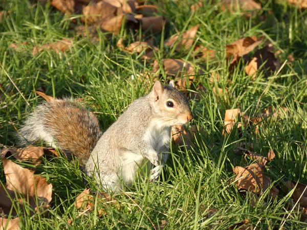 écureuil 4