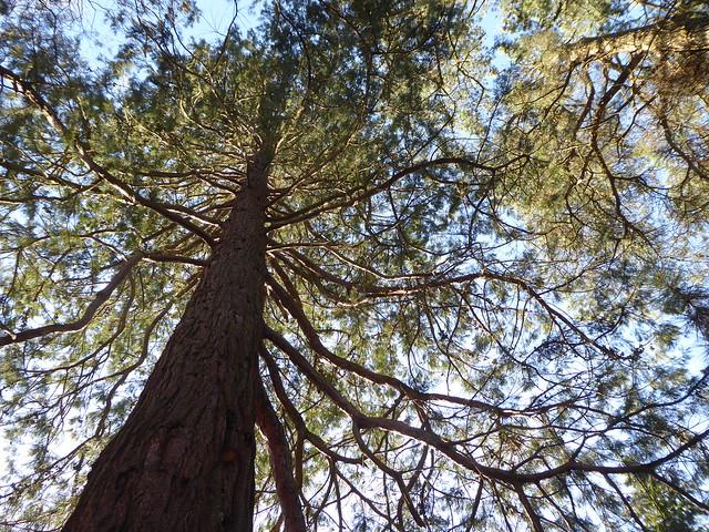 Conifers, Sheffield Park, East Sussex