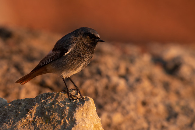 Black Redstart at sunrise!