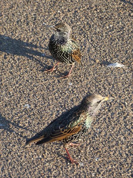 petits oiseaux de Kensington