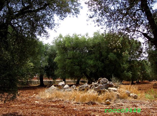 Uliveto - Olive grove