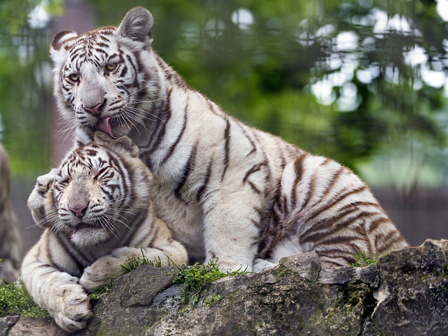 Two white tiger cubs showing love