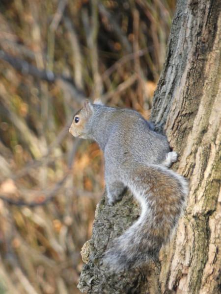 ecureuil gris 2