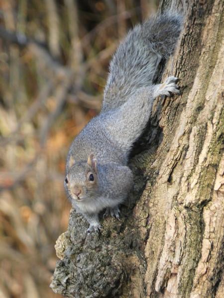 écureuil gris 3