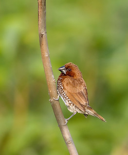 Scaly-breasted munia | by Tareq Uddin Ahmed