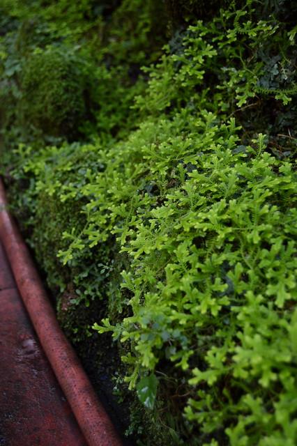 Lincoln Park Conservatory | 2016.01.19 | 0032 Selaginella kraussiana 'Aurea'