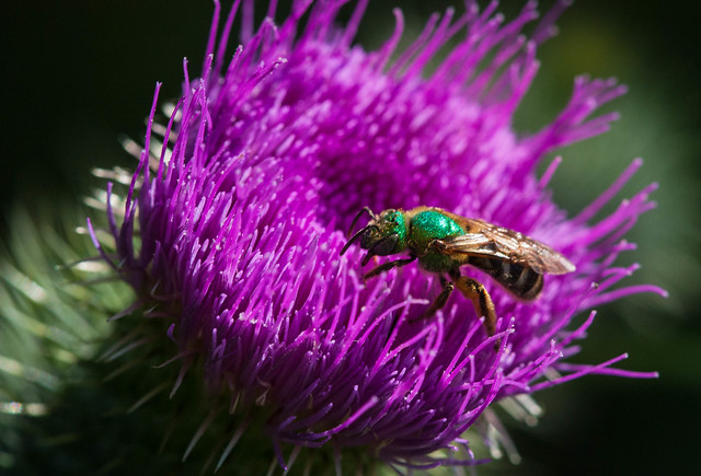 Green sweat bee on thistle
