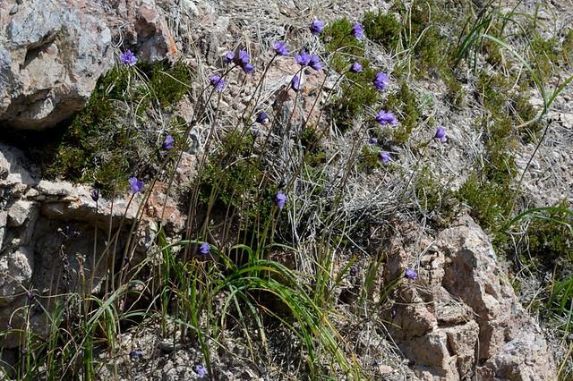 Dichelostemma capitatum ssp. capitatum (Blue Dicks)