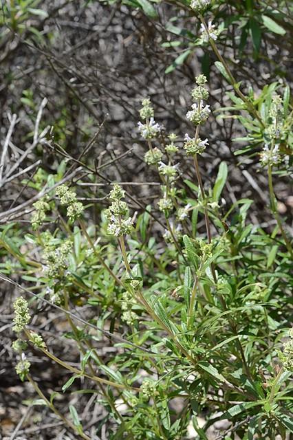 Salvia mellifera (Black Sage)