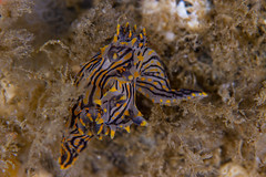 nudibranch5Jan18-20