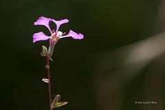 elegant clarkia 6315 (Explored)