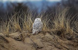 Snowy Owl Plum Island Massachusetts
