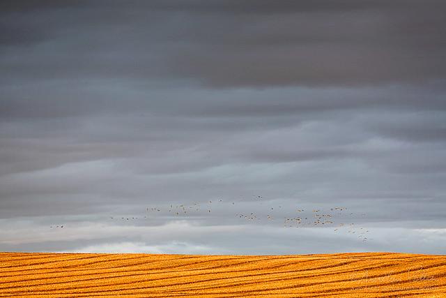 Sainte-Flavie, vol de bernaches à l'horizon