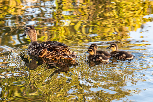 Mother duck and her three ducklings