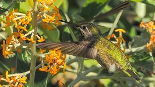 Anna's Hummingbird !
