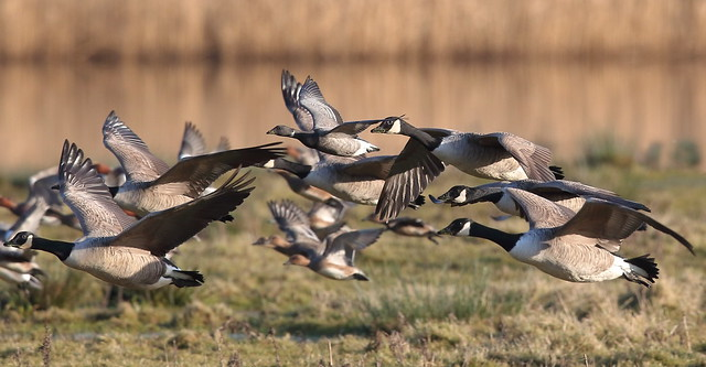 Brent Goose with Canadian Geese