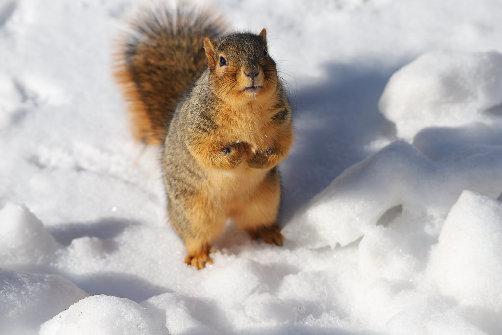 Fox Squirrels on a Cold Winter's Day in Ann Arbor at the University of Michigan 20/2020 223/P365Year12 4240/P365all-time (January 20, 2020)