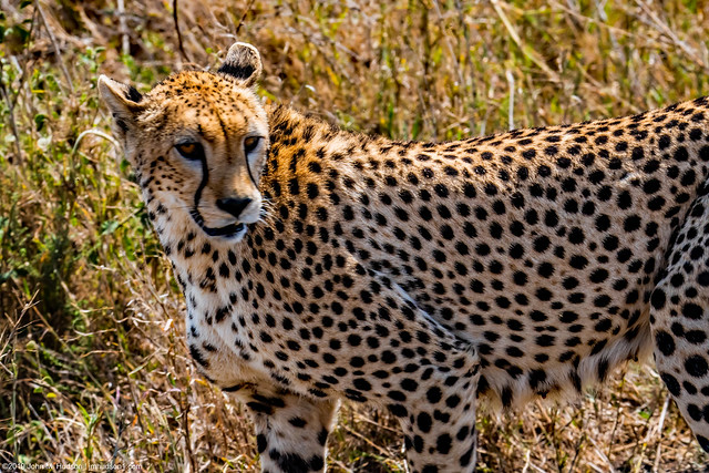 2017.06.23.5547 Cheetah Closeup