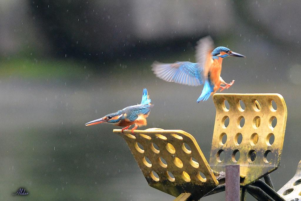 Common_Kingfisher_1477