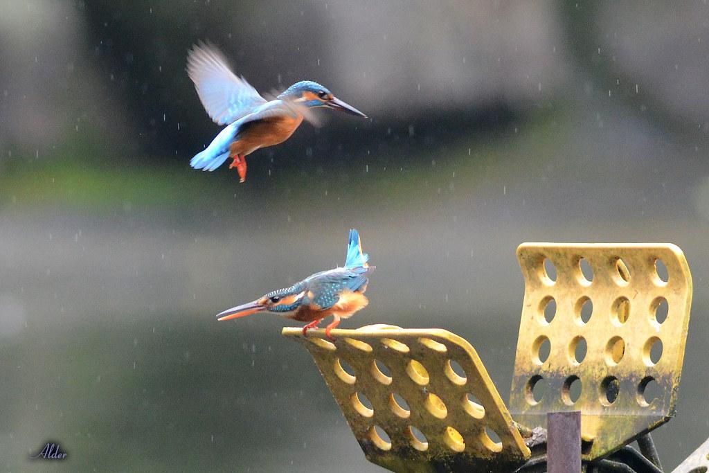 Common_Kingfisher_1476