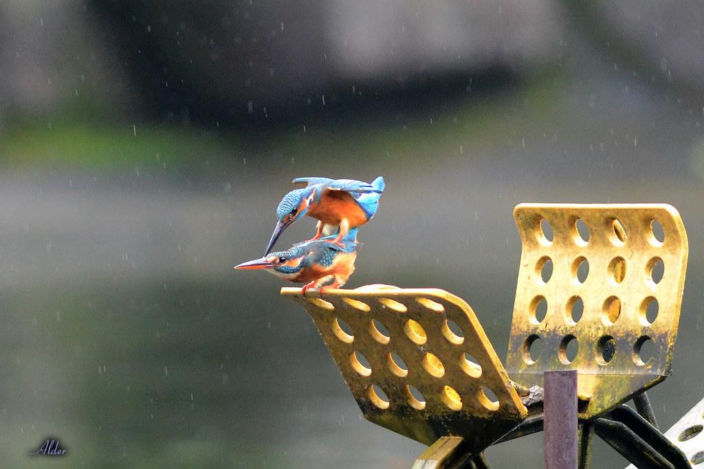 Common_Kingfisher_1443