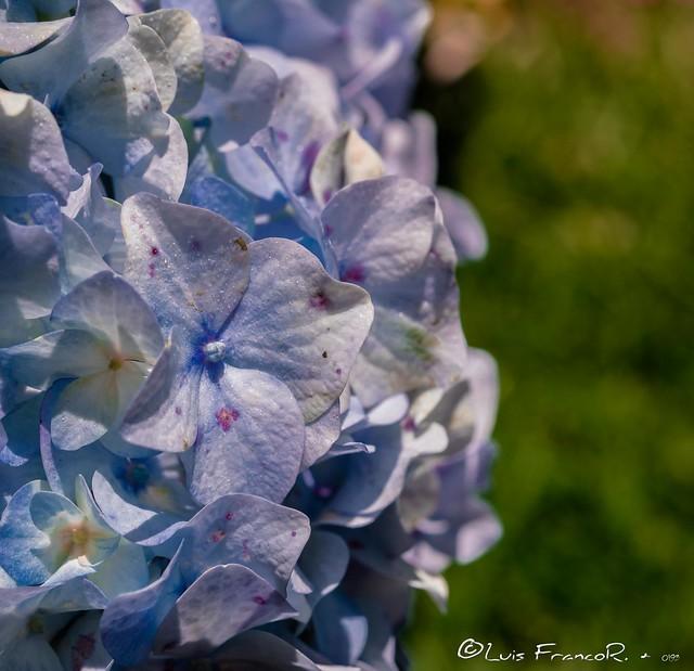 Hortensias - Blue Hydrangea