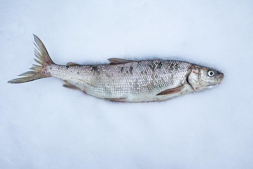 Lake Whitefish   Coregonus clupeaformis