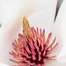 Magnolia (II), 3.4.19