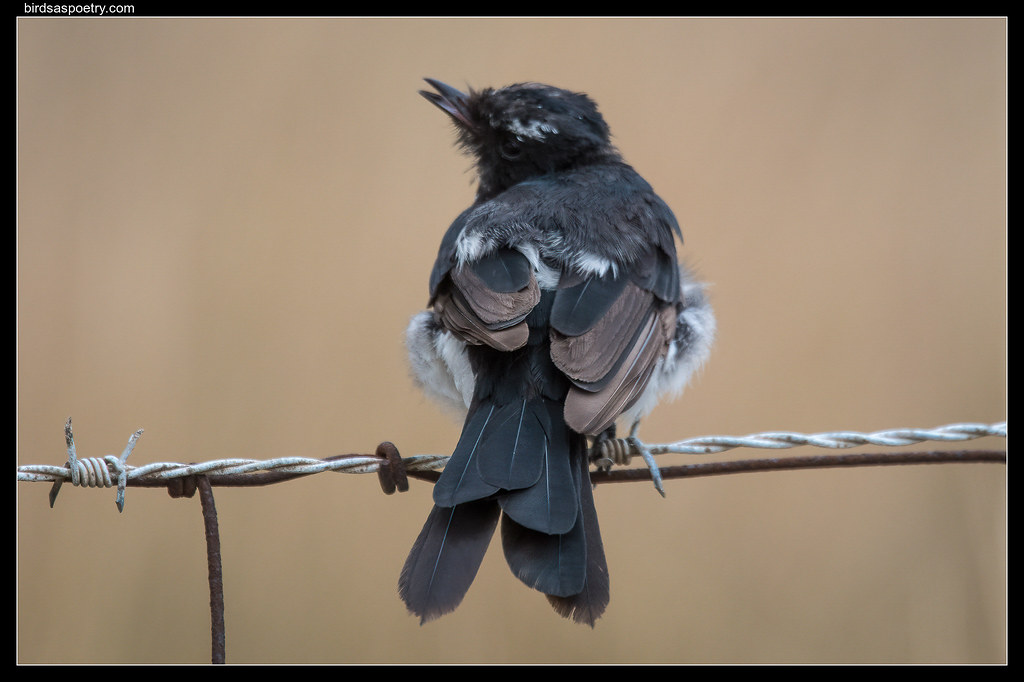 Willie Wagtail :Dress Sense