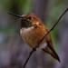 IMG_4498 'rufous' hummingbird