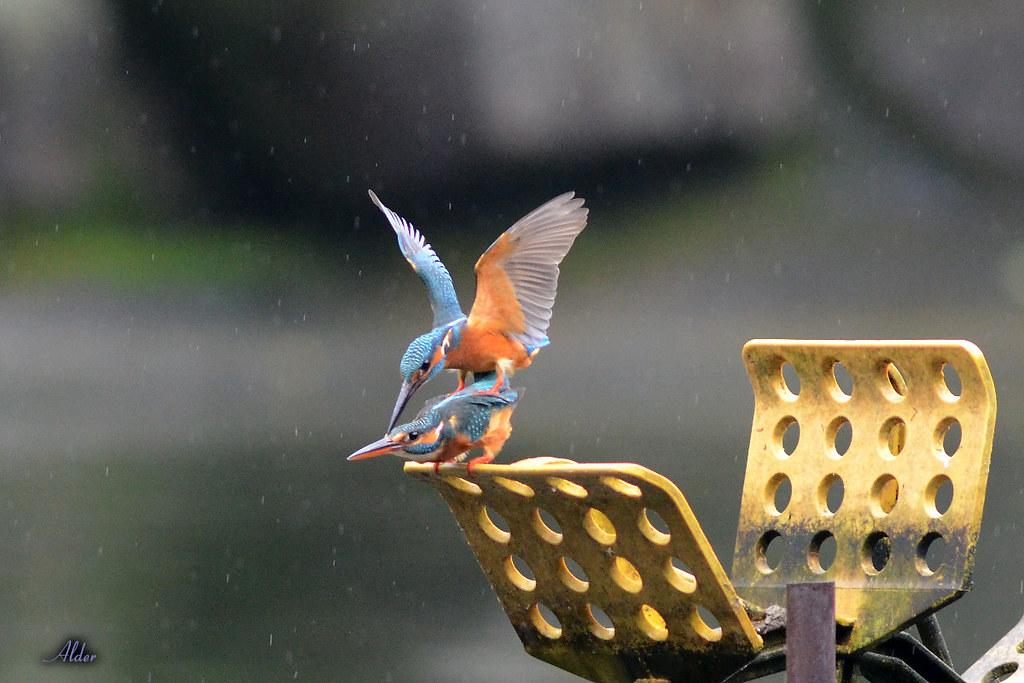 Common_Kingfisher_1458