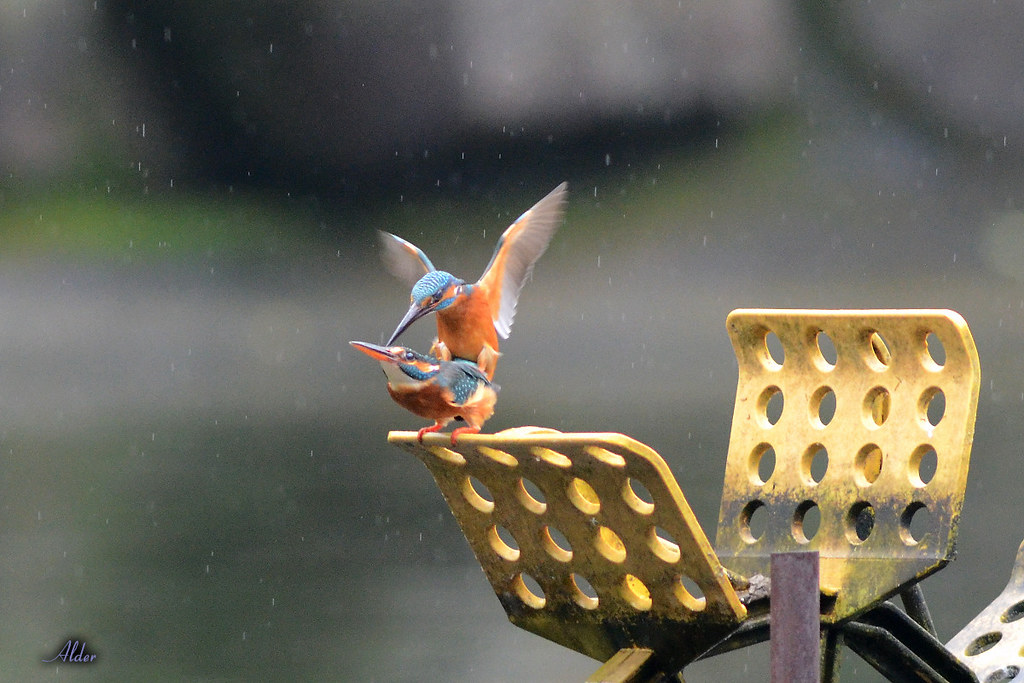 Common_Kingfisher_1455