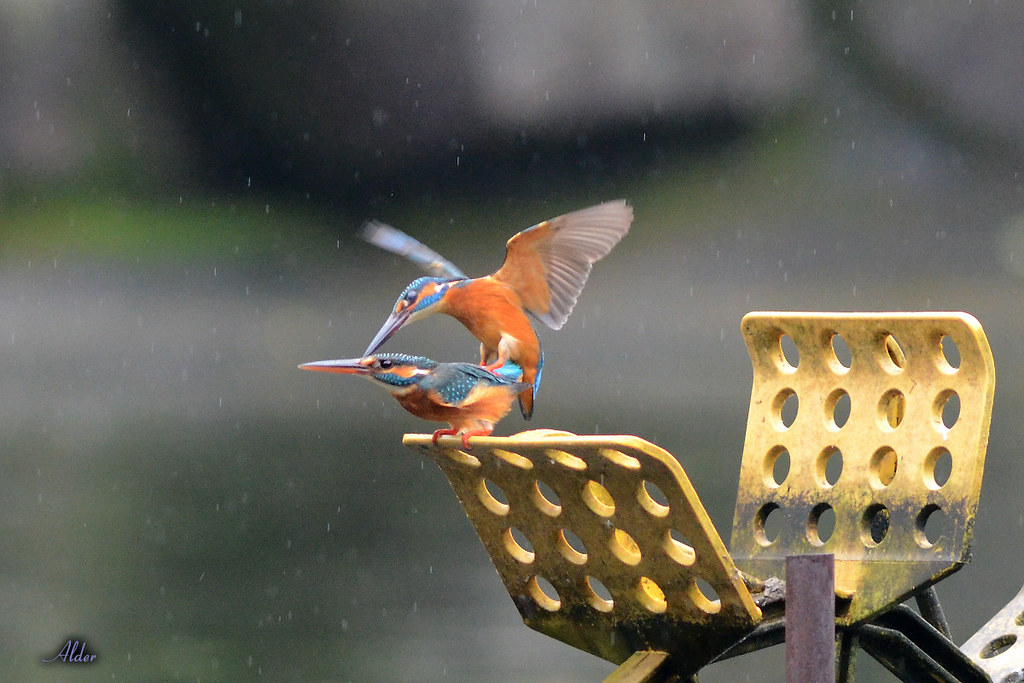 Common_Kingfisher_1451