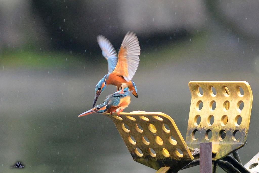 Common_Kingfisher_1450