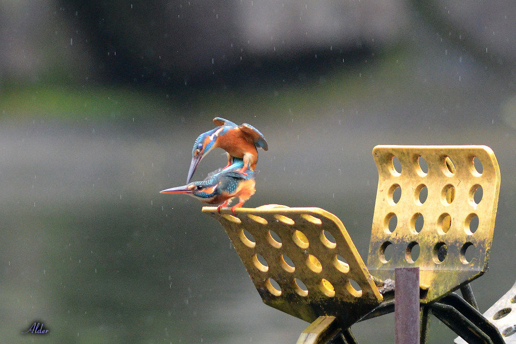 Common_Kingfisher_1449