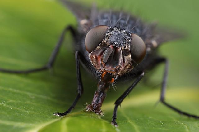 Bluebottle fly portrait #3