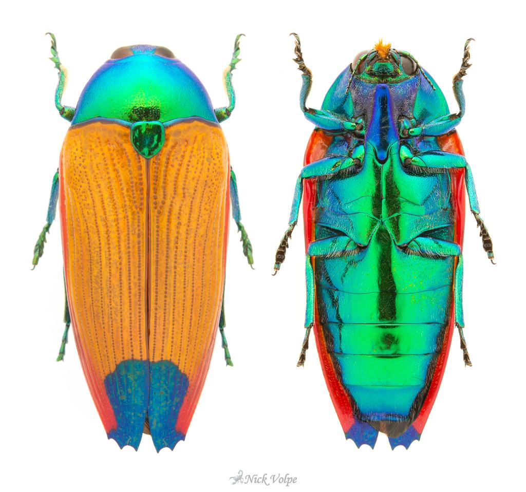 Jewel Beetle (Metaxymorpha gloriosa)