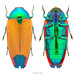Jewel Beetle (Metaxymorpha gloriosa)