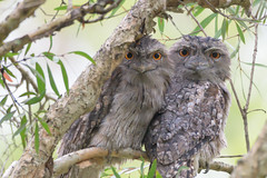 Tawny Frogmouth