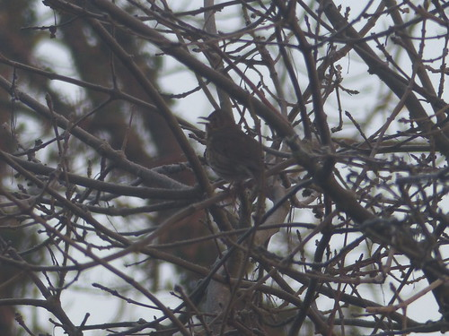 Songthrush is Here