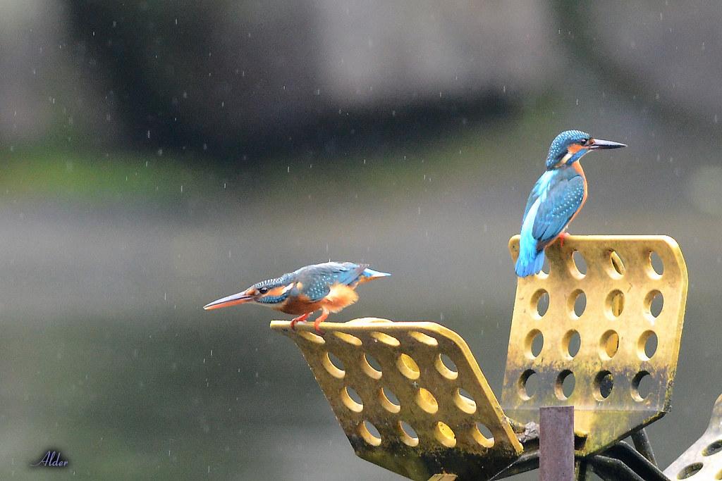 Common_Kingfisher_1479