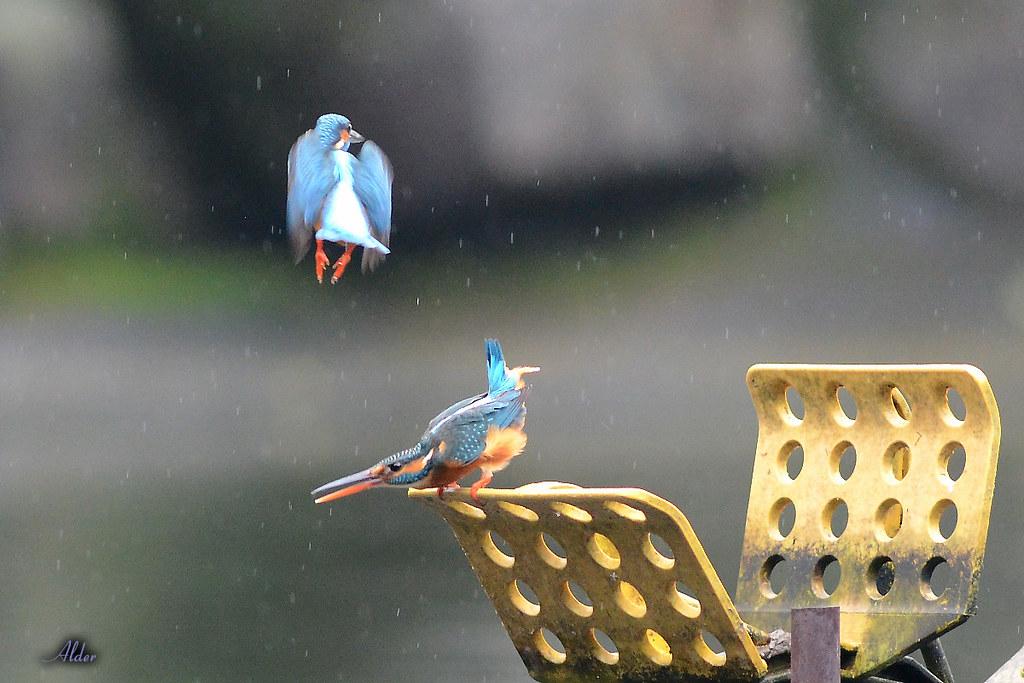 Common_Kingfisher_1475