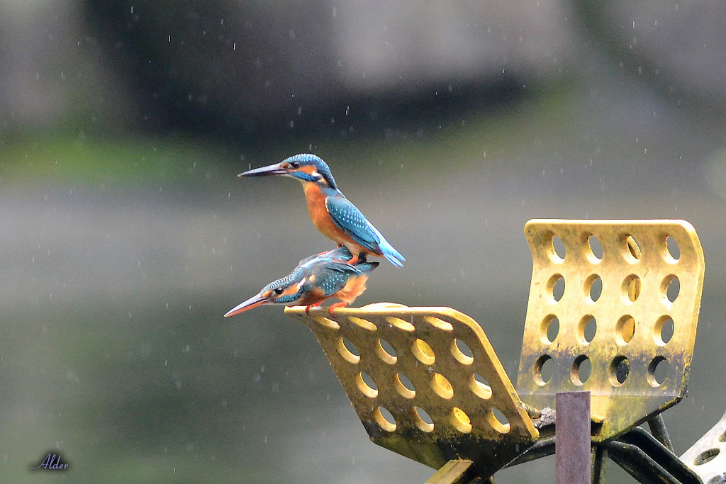 Common_Kingfisher_1474