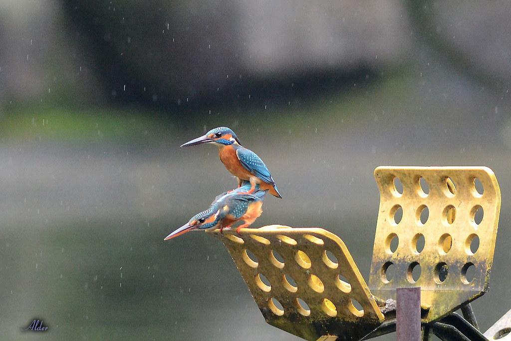 Common_Kingfisher_1471