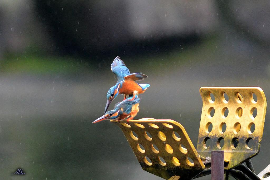 Common_Kingfisher_1459