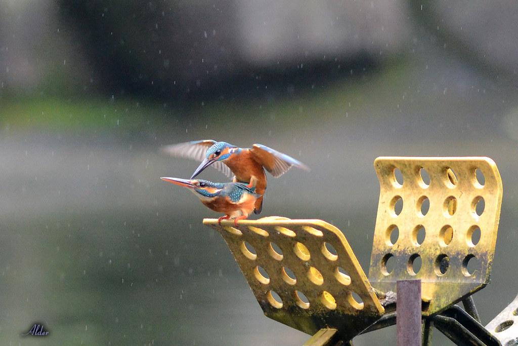 Common_Kingfisher_1452