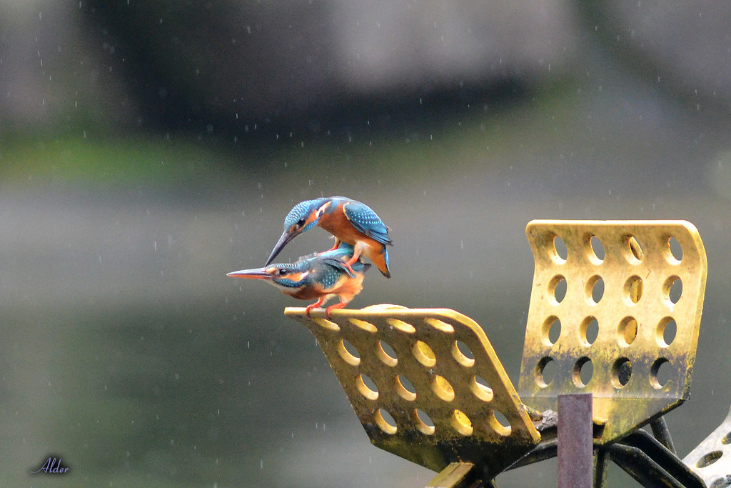 Common_Kingfisher_1447