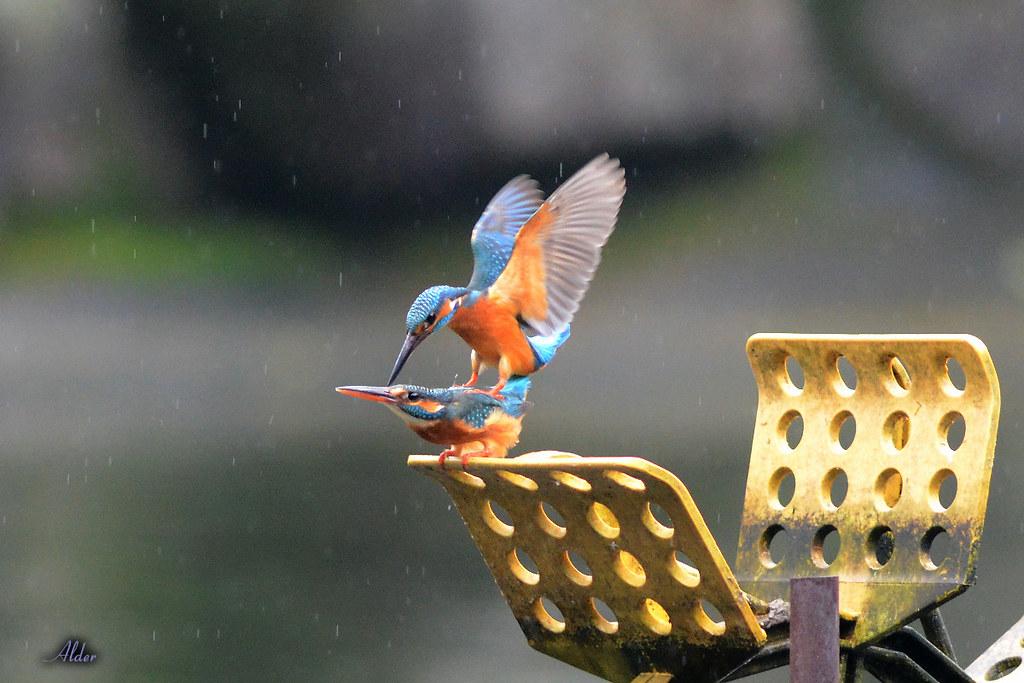 Common_Kingfisher_1442